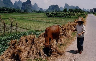 Las granjas chinas contaminan incluso más que las empresas
